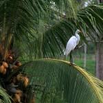 Egretă în cocotier