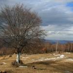 copac singuratic cu Bogus